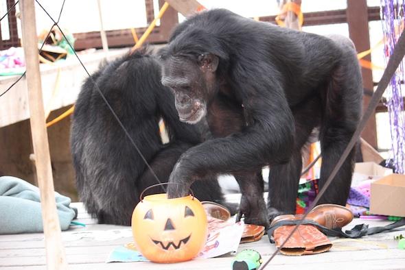 web Jamie Halloween birthday pumpkin enrichment greenhouse gh IMG_0097