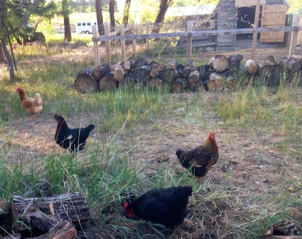 web_debbies_chickens_clementine_victoria_maisie_gertrude_free_roam_coop_in_background_IMG_9972