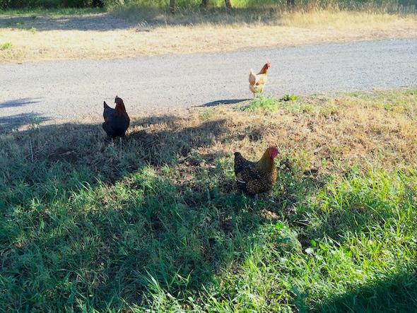 web_debbies_chickens_victoria_clementine_maisie_free_roam_IMG_0368