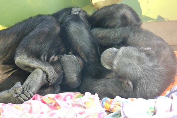 Jamie and Foxie in a Chimpanzee Pretzel