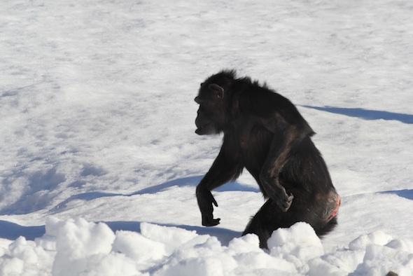 web Annie walk through deep snow bipedal mouthful snow YH IMG_2213