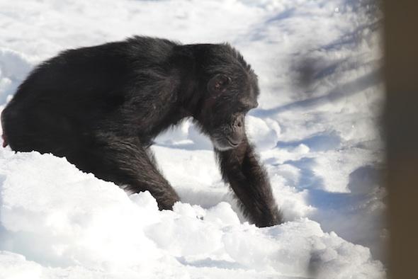 web Foxie walk through deep snow shoveled path YH IMG_2212
