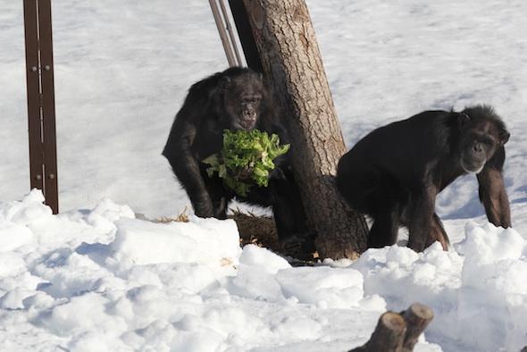 web Missy handful lettuce forage negra's cabin follow annie deep snow YH IMG_2223