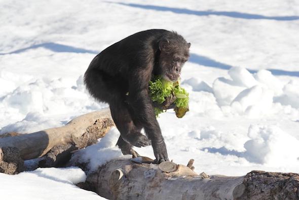 web Missy handful lettuce walk on log snow YH IMG_2226