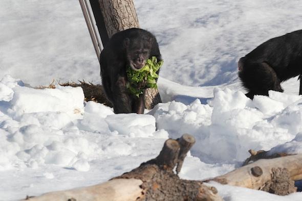 web Missy handful of lettuce almost smile walk through deep snow forage YH IMG_2224