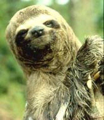 peruvian sloth