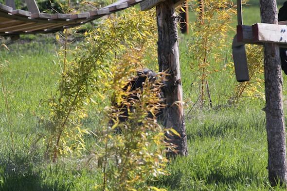 web Hidden chimp bamboo yh IMG_6967