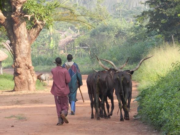 5 bili cattle