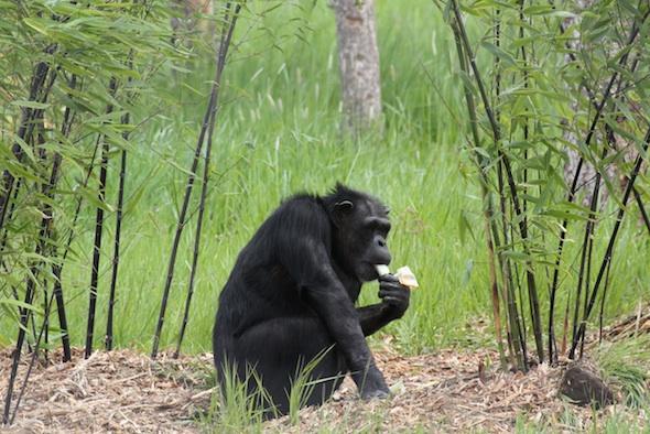 web Annie eat onion under black bamboo YH IMG_8452
