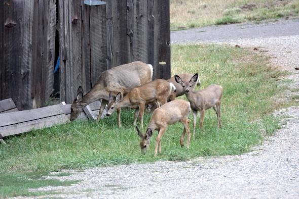 web_Deer_near_barn_IMG_4436