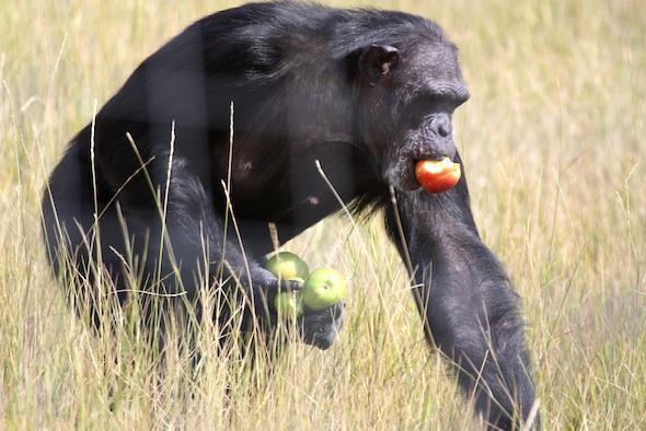 web_jamie_eat_forage_whole_apples_YH_dm_IMG_4750