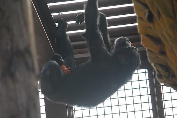 web_Foxie_climb_on_ceiling_troll_in_foot_toy_enrichment_in_mouth_GH_ek_IMG_6969