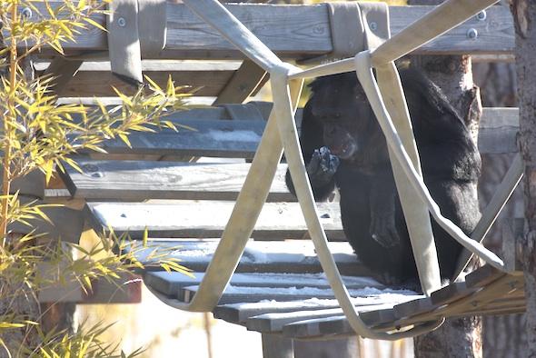 jamie chimpanzee eating snow