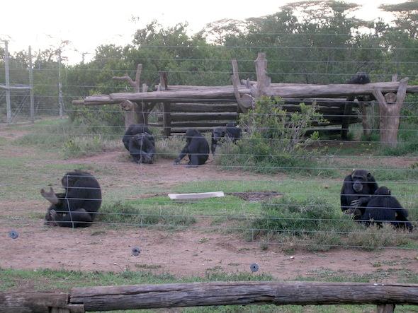 chimps in africa sanctuary4