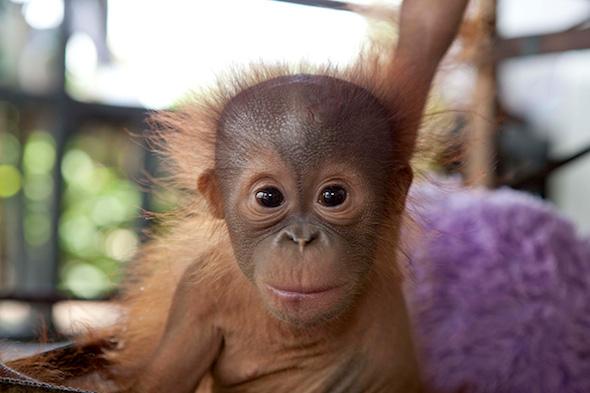 OrangutanOutreach-IAR-rickina