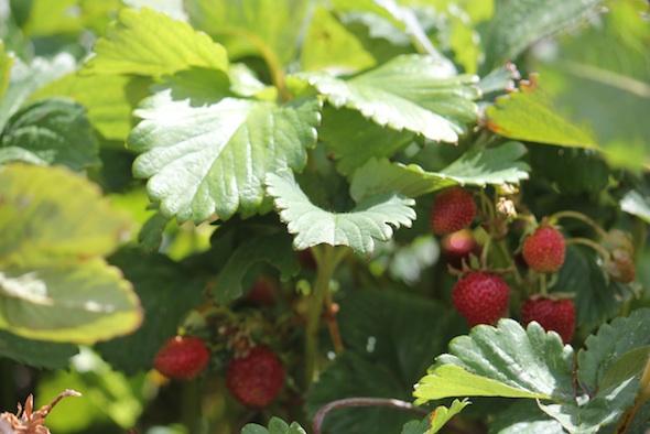 web_garden_strawberries_kd_IMG_0713