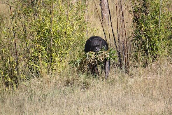 web_Jody_walk_harvest_bamboo_in_mouth_YH_ek_IMG_4855
