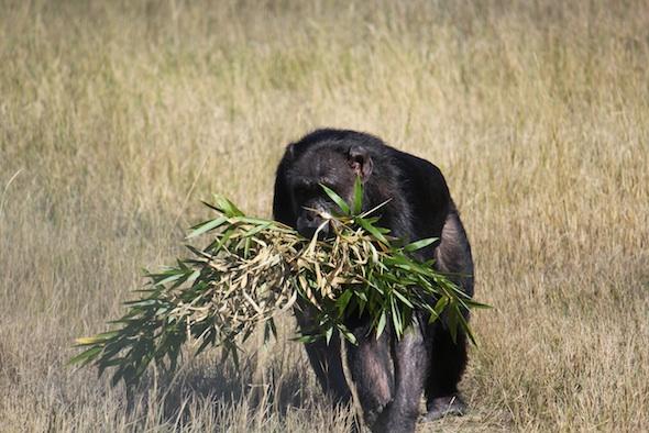 web_Jody_walk_harvest_bamboo_in_mouth_YH_ek_IMG_4864