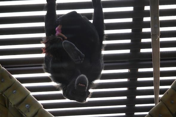web_Foxie_hang_upside_down_on_ceiling_Dora_doll_in_foot_GH_ek_IMG_8203