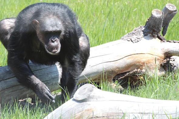 Negra climbing over log