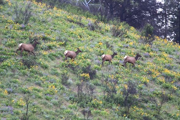 web_elk_herd_on_south_hill_dm_IMG_2493