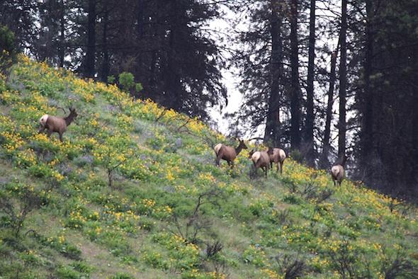web_elk_herd_on_south_hill_dm_IMG_2495