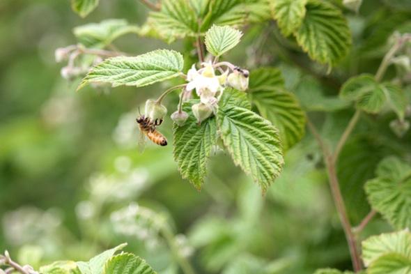 web_honeybee_raspberries_kd_IMG_1699