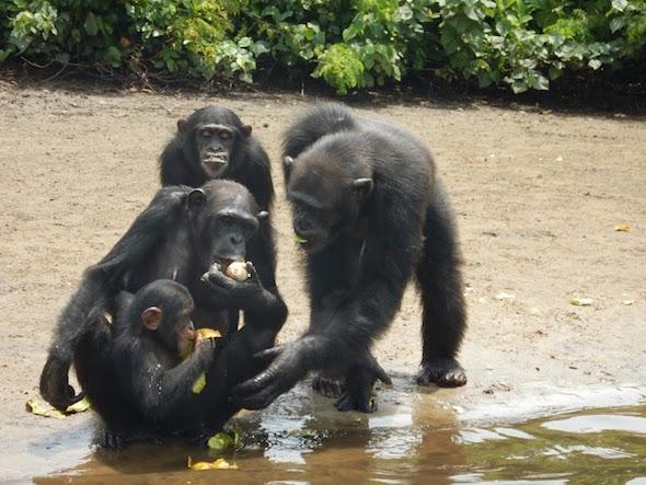 Chimpanzees eating fruit