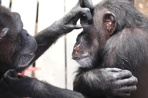 Annie grooming Missy's eye