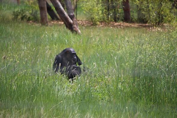 web_Negra_sit_alone_in_green_grass_near_top_of_hill_eat_plants_YH_ek_IMG_3419