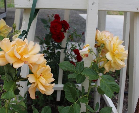 web_roses_kh_IMG_4340