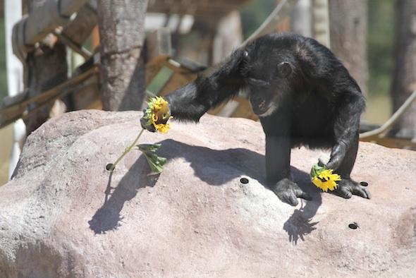Missy retrieving sunflowers