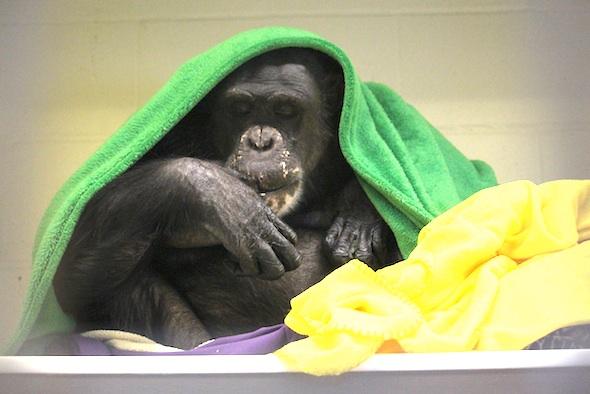 Negra under blankets