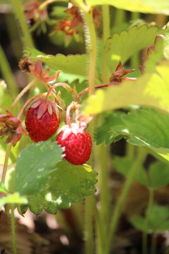 web_strawberry_patch_kd_IMG_3734