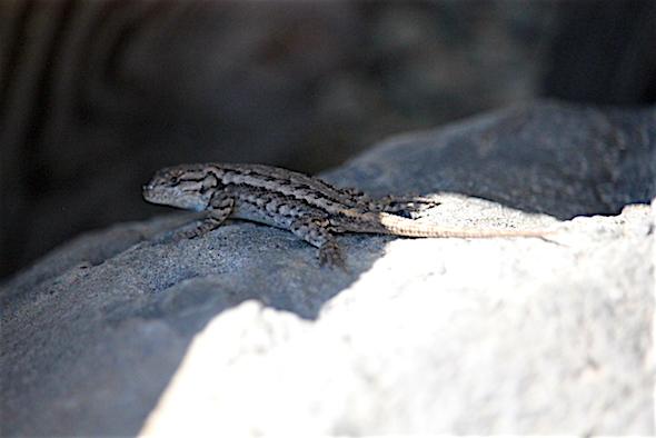 web_tiny_lizard_kd_img_7334