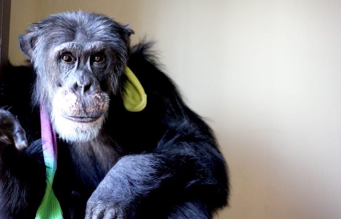 chimpanzee burrito
