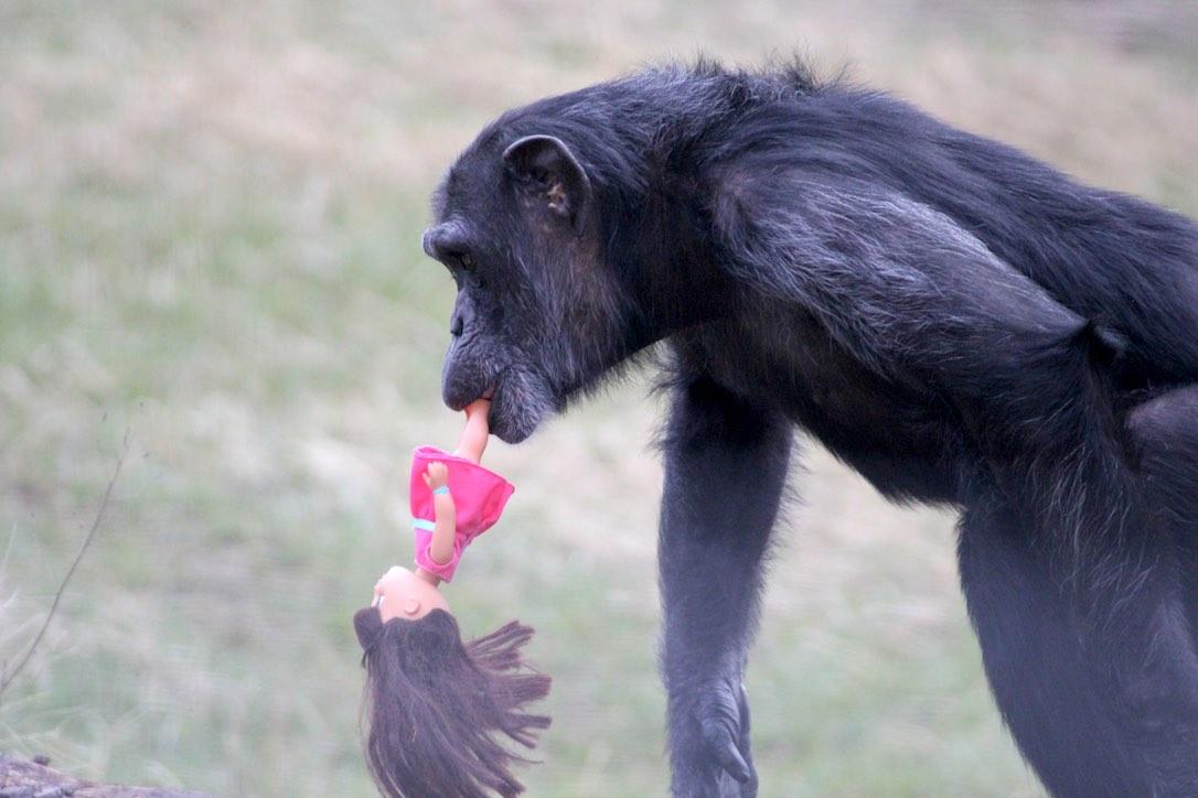 Oliver the chimp 2014