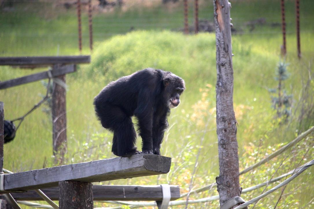 cows Archives - Chimpanzee Sanctuary Northwest