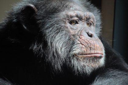 Home - Chimpanzee Sanctuary Northwest